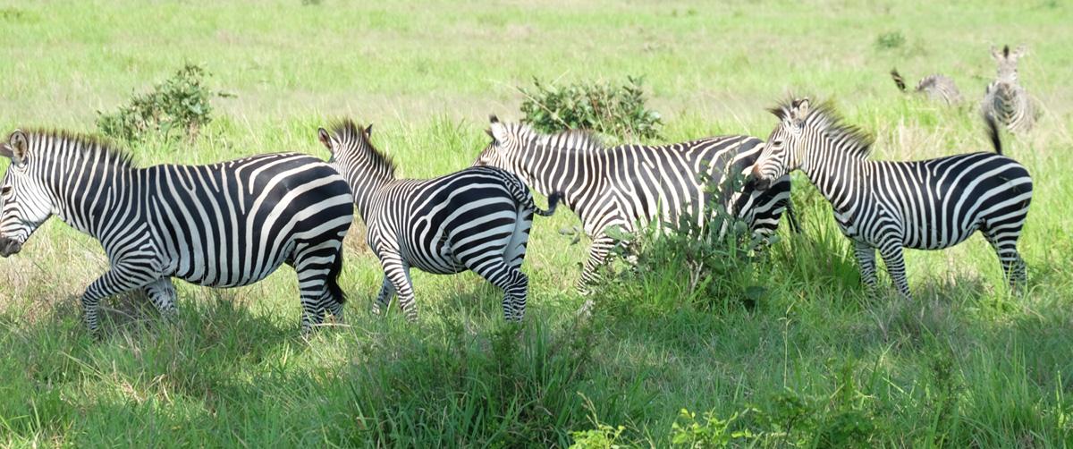Tanzanie Mikumi Parc